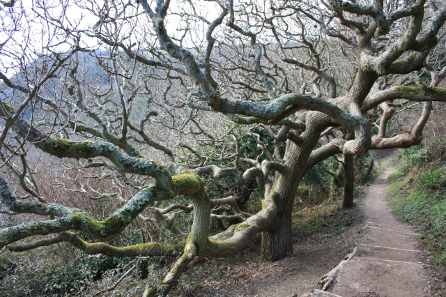 Curly Tree at Hastings Country Park