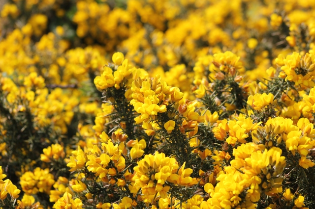 Gorse near Harbour Heights