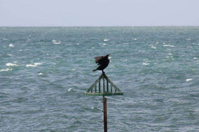 Cormorant at Selsey