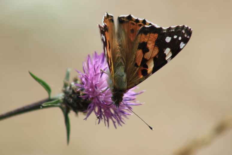 Painted Lady Butterfly at Pagham Harbour
