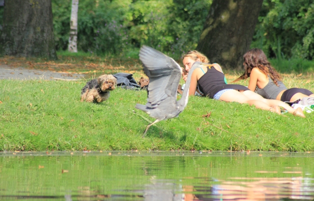 Humans, Dogs and Herons Getting on Not-So-Peacefully
