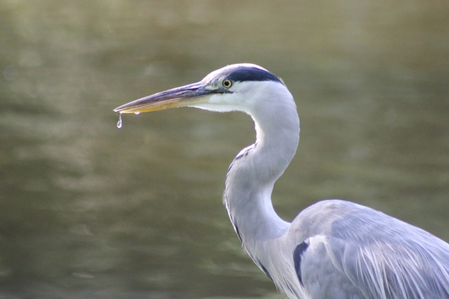 Heron at Vondelpark
