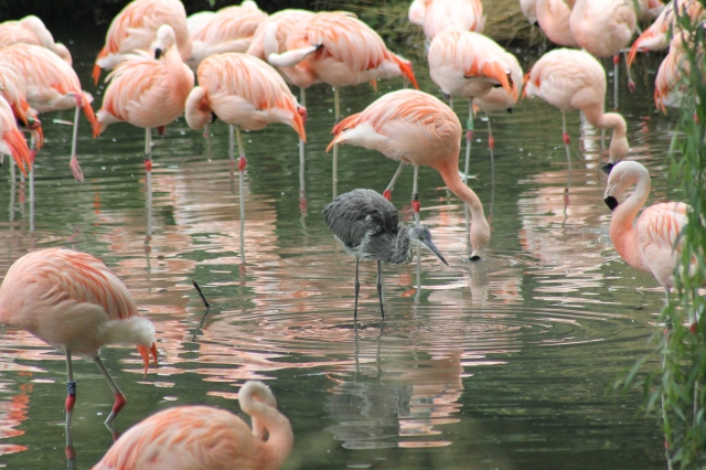 Heron Pretending to be a Flamingo