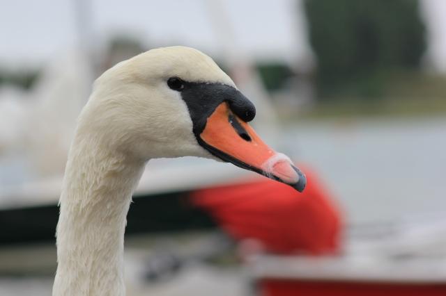 Bosham Swan