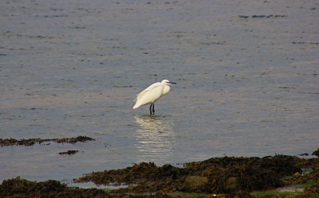 Egret in Bosham Channel