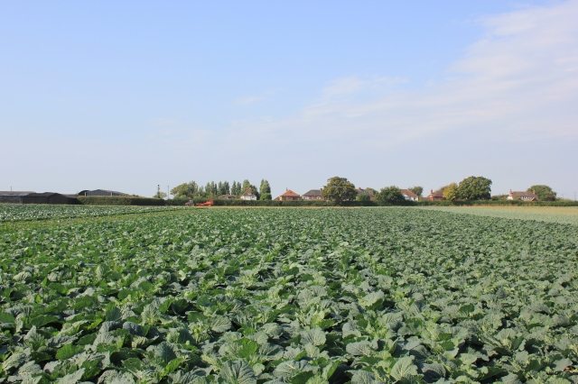 Farmer's Fields in Chidham - Cabbages