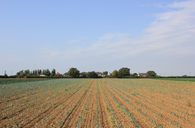 Farmer's Fields in Chidham - Leeks