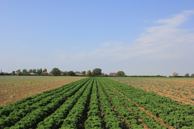 Farmer's Fields in Chidham - Kale