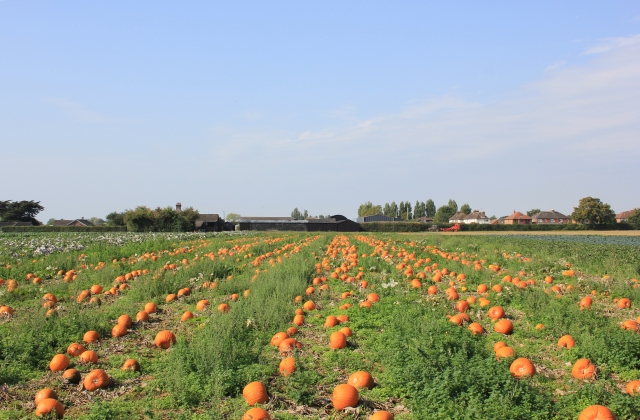 Farmer's Fields in Chidham - Pumpkins