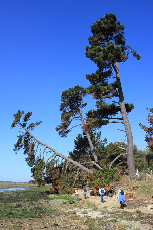 Falling Tree at Lepe Saltings