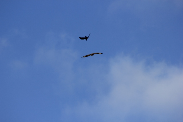 Buzzards I think