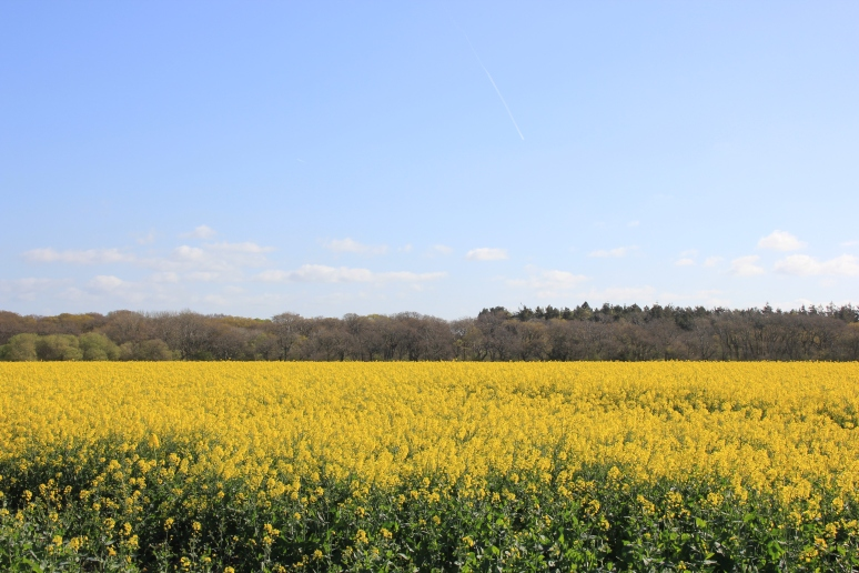 Rape Field in Exbury