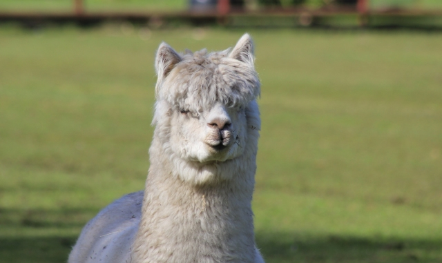 Alpaca at Shore Road Hythe