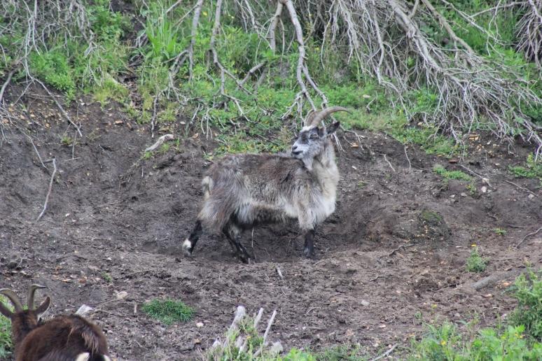 Boscombe Goat