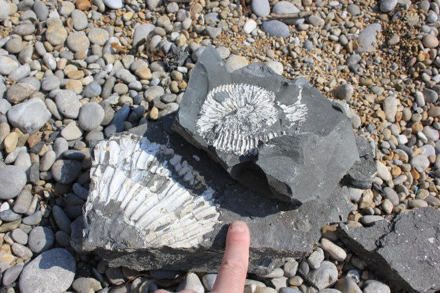 Fossils at Chapman's Pool
