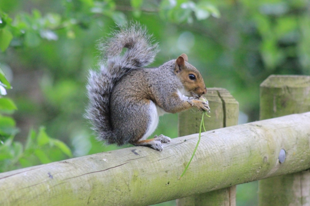 Squirrel in Nothe Fort Gardens