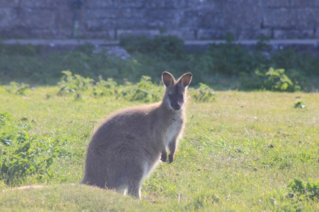 Wallaby at Fancy's Farm