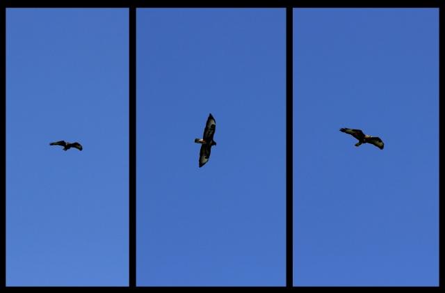35-buzzard